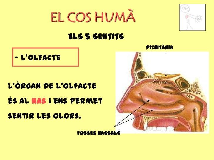 EL COS HUMÀ               ELS 5 SENTITS                                  PITUITÀRIA - L'OLFACTEL'òrgan de l'olfacteés al n...