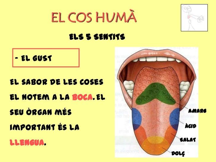 EL COS HUMÀ             ELS 5 SENTITS - EL GUSTEl sabor de les cosesel notem a la boca. Elseu òrgan més                   ...