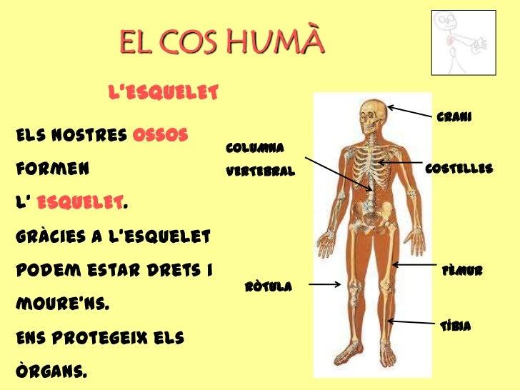 EL COS HUMÀ          L'ESQUELET                                    CRANIEls nostres ossos                       COLUMNAfor...