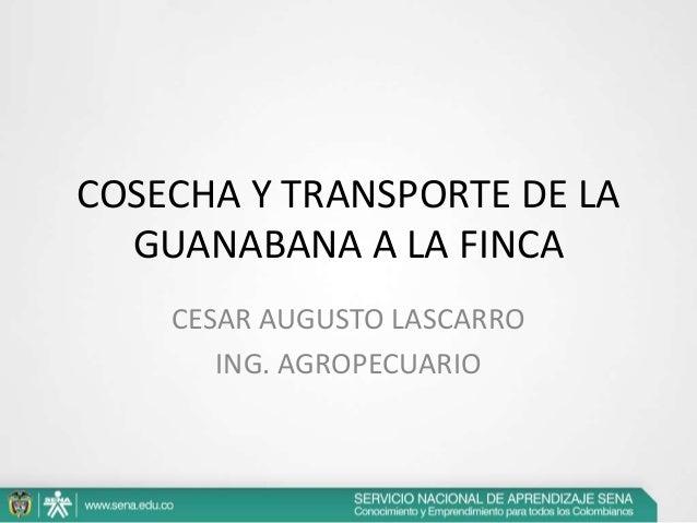 COSECHA Y TRANSPORTE DE LA GUANABANA A LA FINCA CESAR AUGUSTO LASCARRO ING. AGROPECUARIO