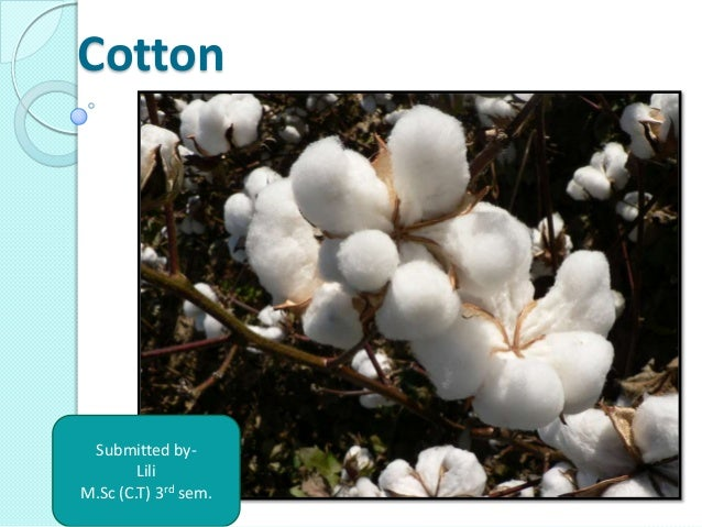 Cotton Submitted by- Lili M.Sc (C.T) 3rd sem.