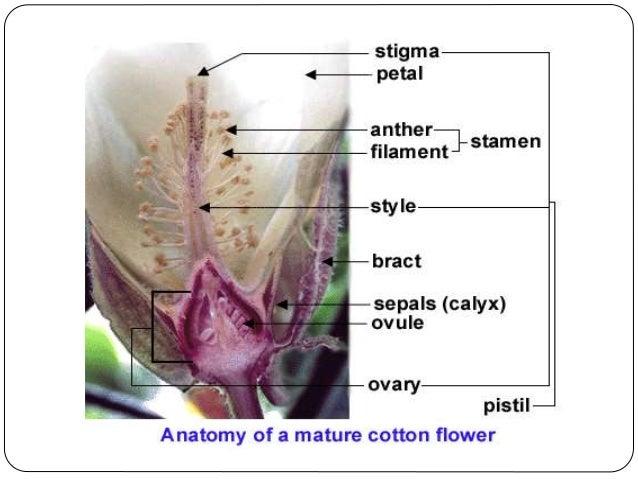 Cotton  Origin  Floral Structure  U0026 Biology  Breeding