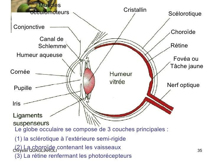 Cours vision1 19 06 07 ramette - Couche du globe oculaire ...