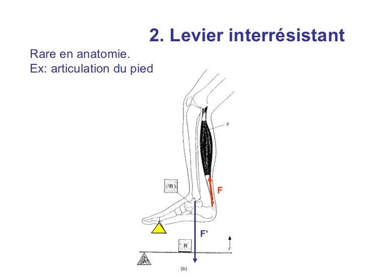 2. Levier interrésistantRare en anatomie.Ex: articulation du pied                                  F                      ...