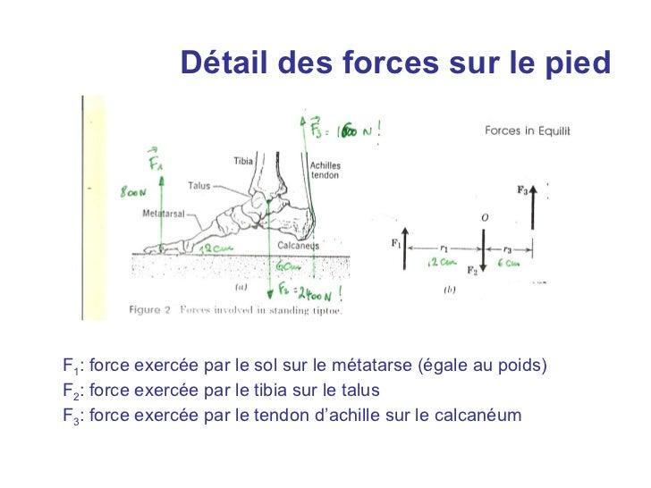 Détail des forces sur le piedF1: force exercée par le sol sur le métatarse (égale au poids)F2: force exercée par le tibia ...
