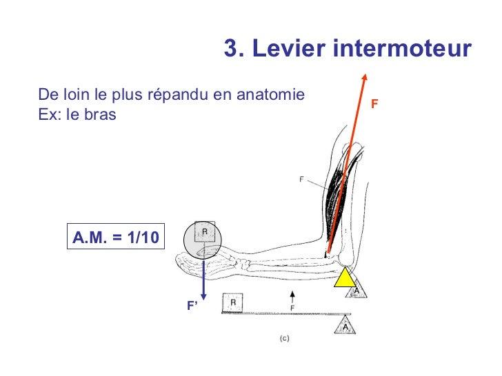 Levier intermoteur:articulation de la mâchoire         F    F'