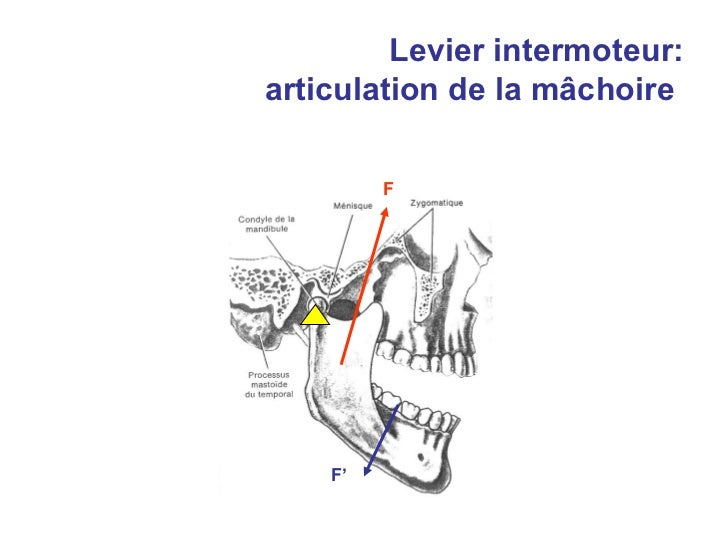 Cours leviers anatomie