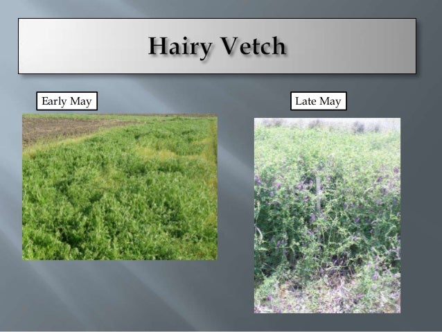    Large Biomass   High N fixation-80-    120 lbs/acre   Plant fall or early    spring   Not as winter hardy       Se...