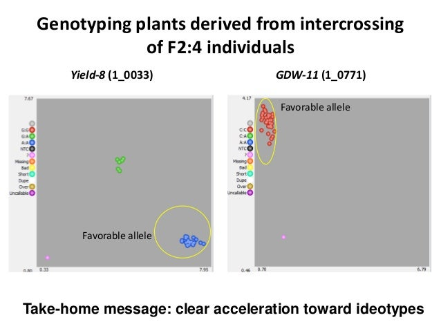 Genotyping plants derived from intercrossing of F2:4 individuals Yield-8 (1_0033) GDW-11 (1_0771) Favorable allele Favorab...