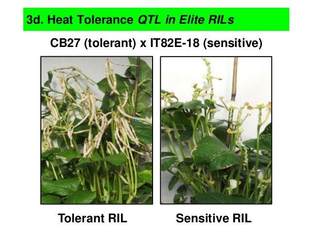 CB27 (tolerant) x IT82E-18 (sensitive) Tolerant RIL Sensitive RIL 3d. Heat Tolerance QTL in Elite RILs