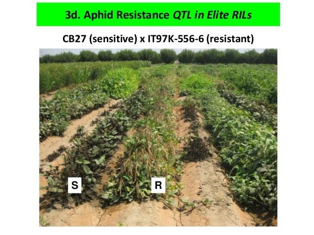 CB27 (sensitive) x IT97K-556-6 (resistant) SR 3d. Aphid Resistance QTL in Elite RILs S