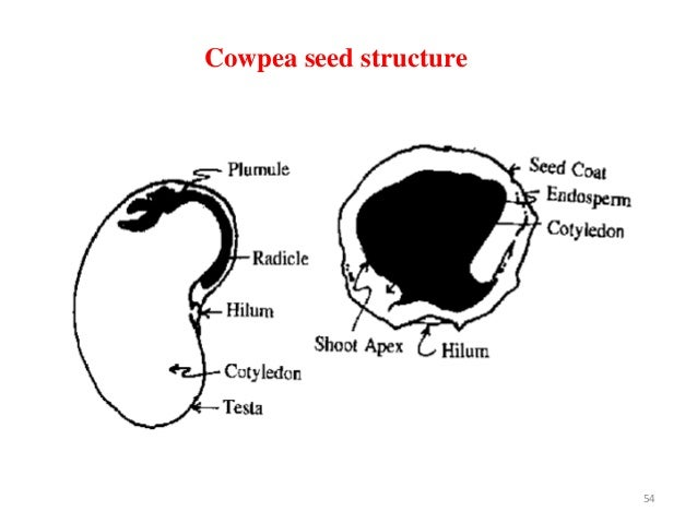 systematics and production technology of cowpea