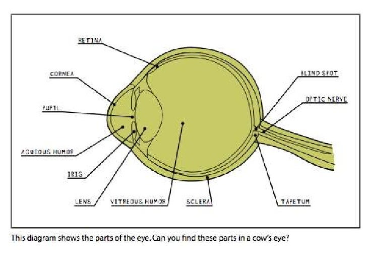 Cow Eye Diagram Labled Search For Wiring Diagrams