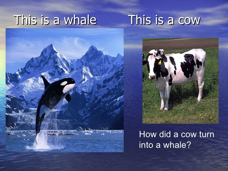 cows and whales The evolution of whales has been a mystery how did a large whale evolution: more stable neck -- an adaptation for swimming also seen in other aquatic animals such as sea cows, and in an extreme form in modern whales.