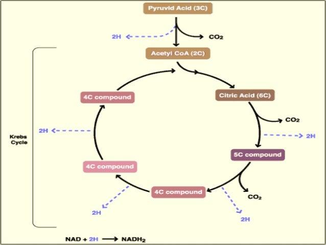 The Krebs Cycle Class 11 Cbse