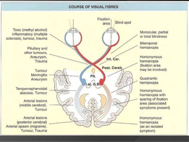 optic nerve, Cephalic Vein