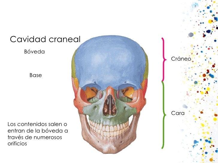 Cavidad craneal Cráneo Cara Los contenidos salen o entran de la bóveda a través de numerosos orificios Bóveda Base