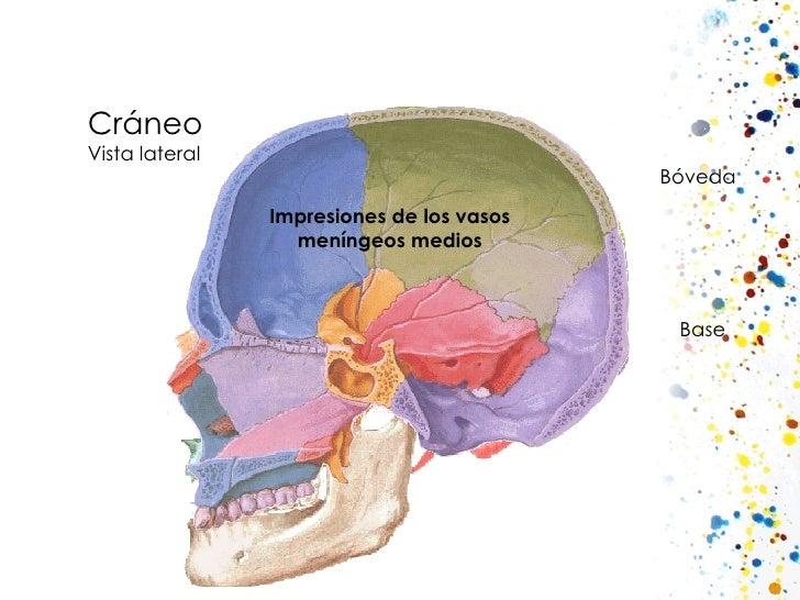 Cráneo Vista lateral Impresiones de los vasos meníngeos medios Bóveda Base