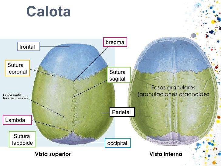 Calota Vista superior Vista   interna Fosas granulares (granulaciones aracnoides bregma Sutura  sagital Parietal occipital...