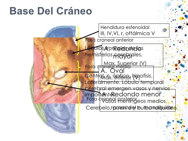 Base Del Cráneo Fosa craneal anterior Lóbulos frontales de los hemisferios cerebrales. Fosa craneal media Central, n. ópti...