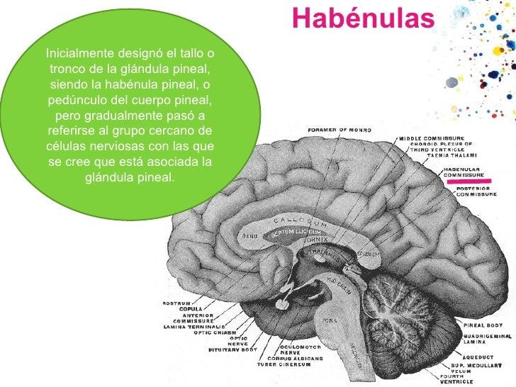 Habénulas Inicialmente designó el tallo o tronco de laglándula pineal, siendo la habénula pineal, o pedúnculo del cuerpo ...
