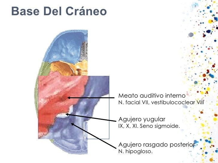 Base Del Cráneo Meato auditivo interno N. facial VII, vestibulococlear VIII Agujero yugular IX, X, XI. Seno sigmoide. Aguj...