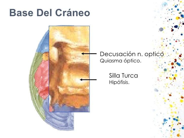 Base Del Cráneo Silla Turca Hipófisis. Decusación n. optico Quiasma óptico.