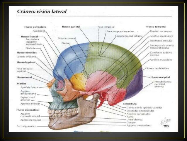 Estructura Del Cráneo Huesos