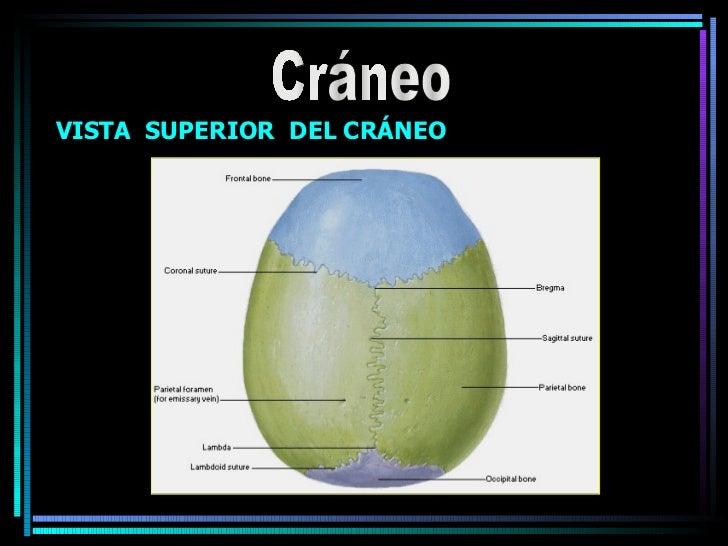 Cráneo VISTA  SUPERIOR  DEL CRÁNEO