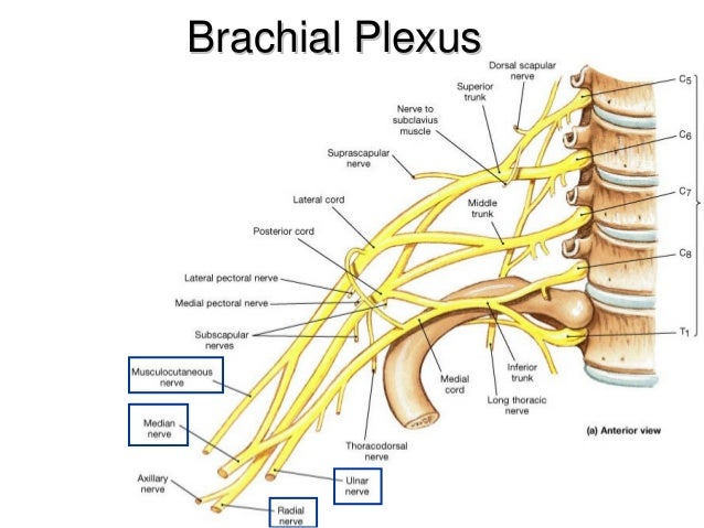 And Spinal Nerve