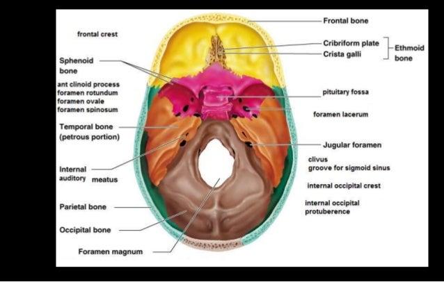 Cranial Cavity Skull Cap