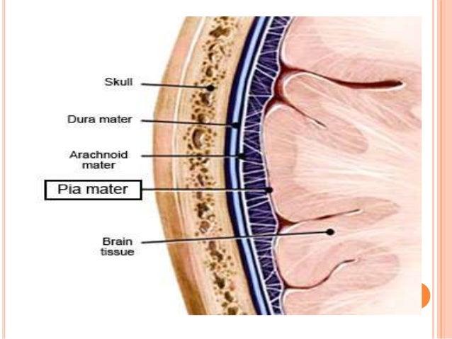 cranial meninges diagram of the meninges covering the brain diagram of the meninges covering the brain