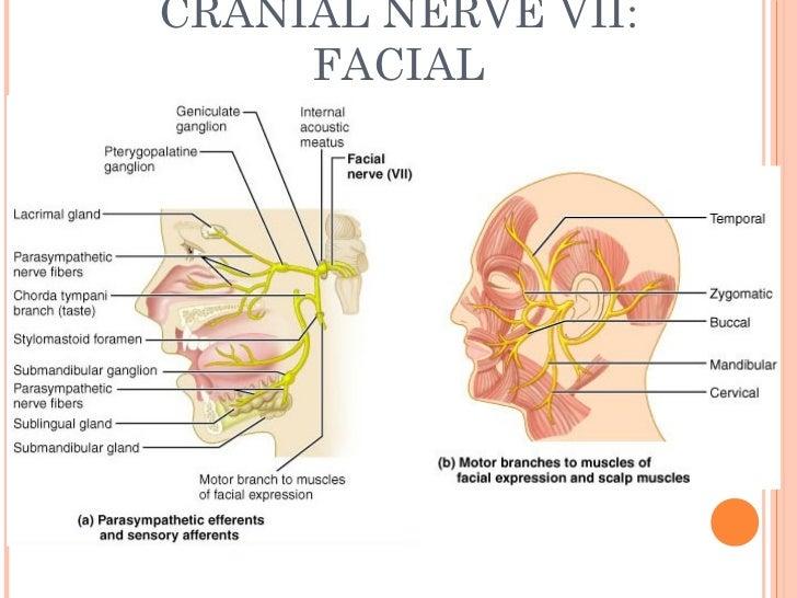Cranial Facial Nerves 98