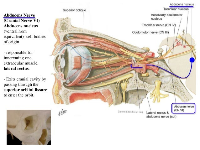 13976569 also 6548062 moreover Body Cavities Chapter 1 Flash Cards furthermore Facial Bone Anatomy in addition 2155156. on orbital cavity organs