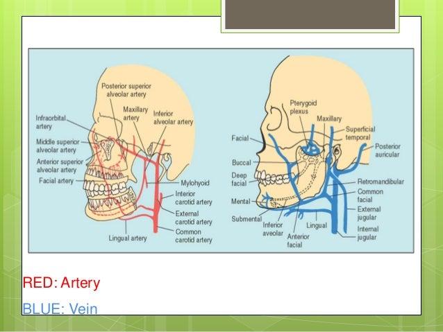 Buccal cavity anatomy