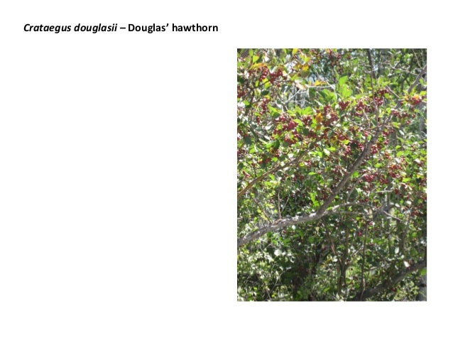 Crataegus douglasii – Douglas' hawthorn