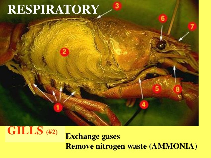 Crayfish dissection green gland