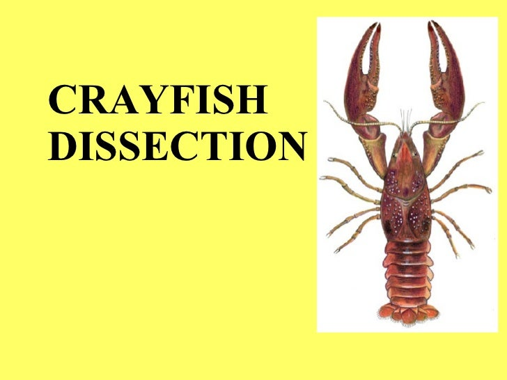 Crayfish dissection crayfish dissection 1 728gcb1304621413 ccuart Gallery