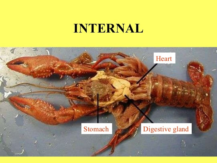 Crayfish Dissection Gastric Mill