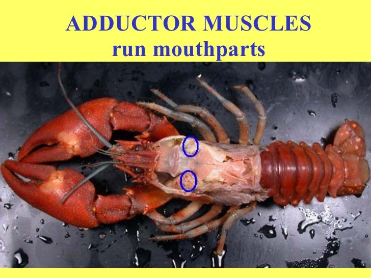 Crayfish Exoskeleton And A Diagram Of Muscle - Circuit Connection ...