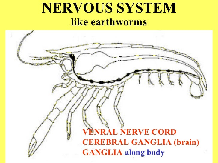 Crayfish dissection nervous system ccuart Gallery