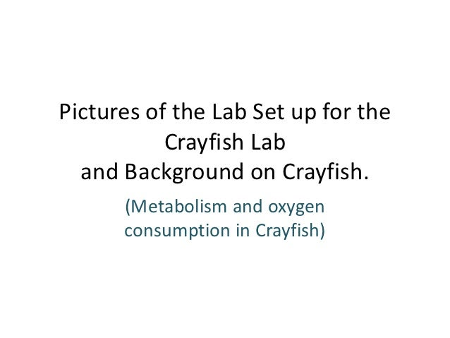 Pictures of the Lab Set up for the           Crayfish Lab  and Background on Crayfish.      (Metabolism and oxygen      co...