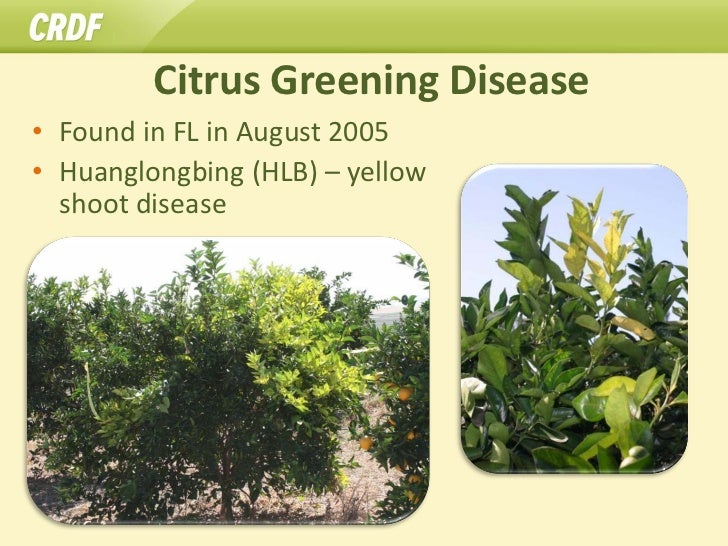 Citrus Greening Disease• Found in FL in August 2005• Huanglongbing (HLB) – yellow  shoot disease