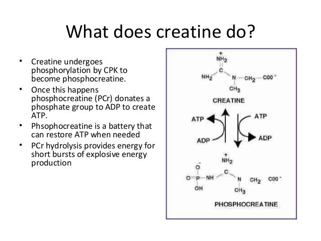a study of phosphocreatine Phosphocreatine plays an important part in the energy heart system  and  matched studies that compared phosphocreatine with placebo or.