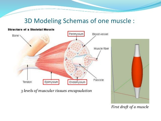 Creation of a synthetic organ - the skeletal striated muscle