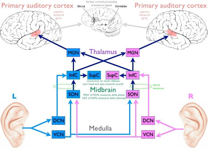 further cortical processingPrimary auditory cortex                  of auditory signals                                   ...