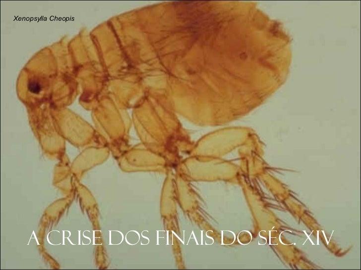 A crise dos finais do séc. XIV Xenopsylla Cheopis