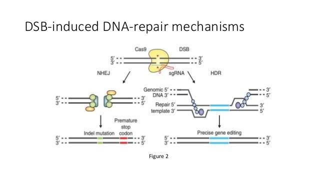 DSB-induced DNA-repair mechanisms Figure 2