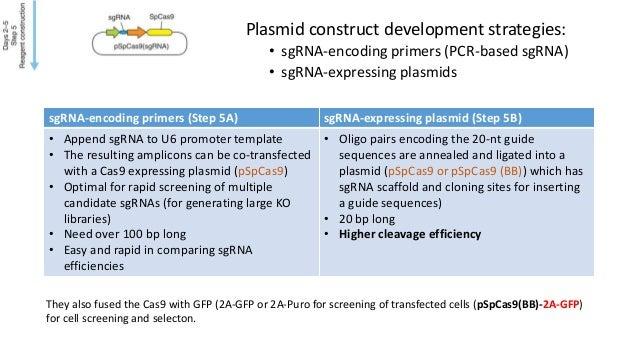 Plasmid construct development strategies: • sgRNA-encoding primers (PCR-based sgRNA) • sgRNA-expressing plasmids sgRNA-enc...