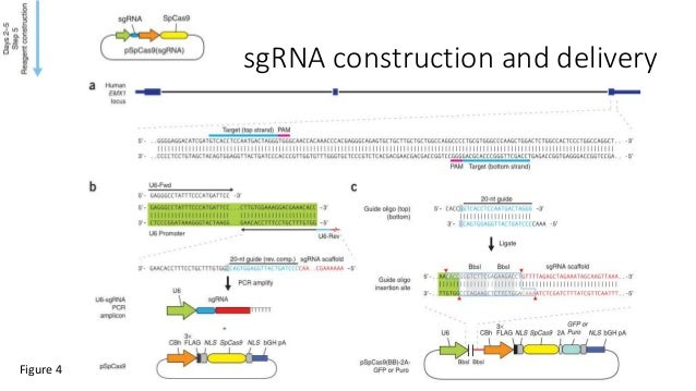 sgRNA construction and delivery Figure 4